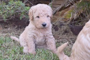 F1B Miniature Labradoodles Ready Over the Holidays